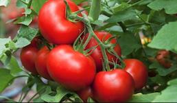 hnojení rajčat