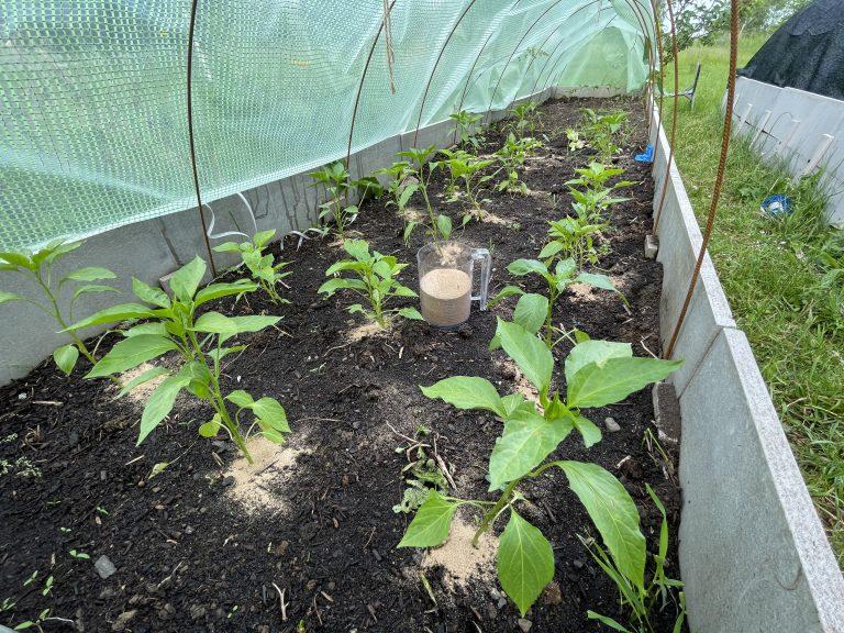 jarní hnojení paprik