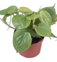 Filodendron