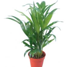 Areka palma zlatoplodá