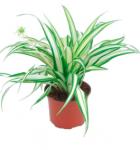 Zelenec Variegatum