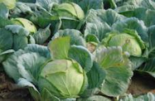 hnojení hlávkového zelí
